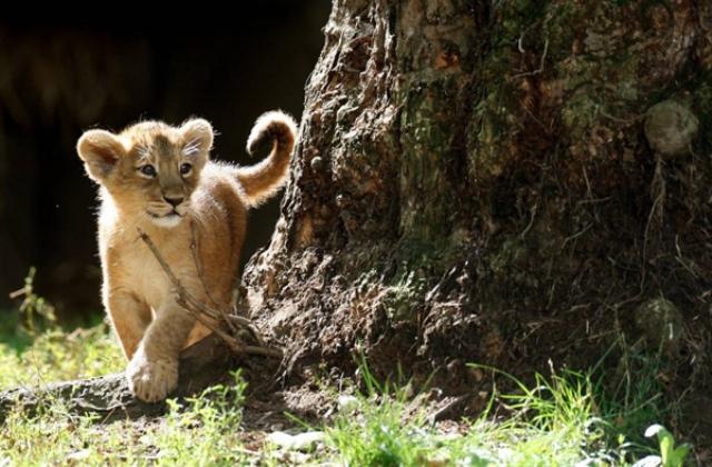 ამ წუთებში ვაკეში ლომის ბოკვერის დაჭერას ცდილობენ
