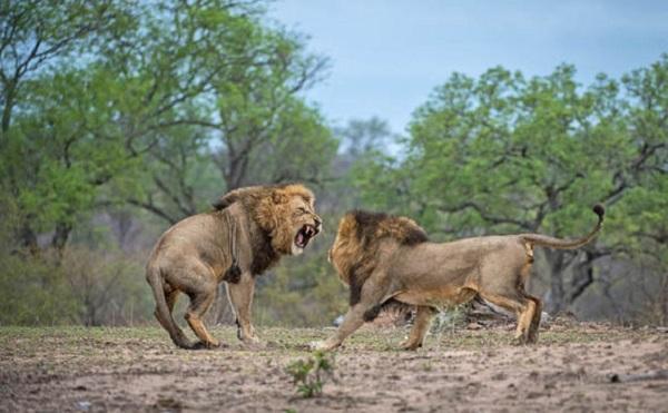 ლომებმა ბრაკონიერი შეჭამეს