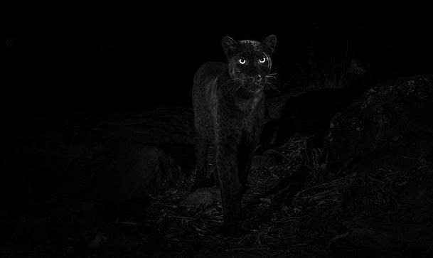 შავი პანტერა - უიშვიათესი ცხოველი კენიაში დააფიქსირეს |ფოტო
