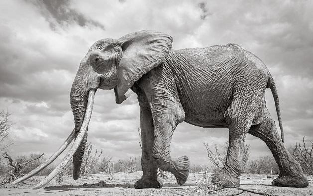 60 წლის სპილო, სახელად დედოფალი მოკვდა | ფოტოები