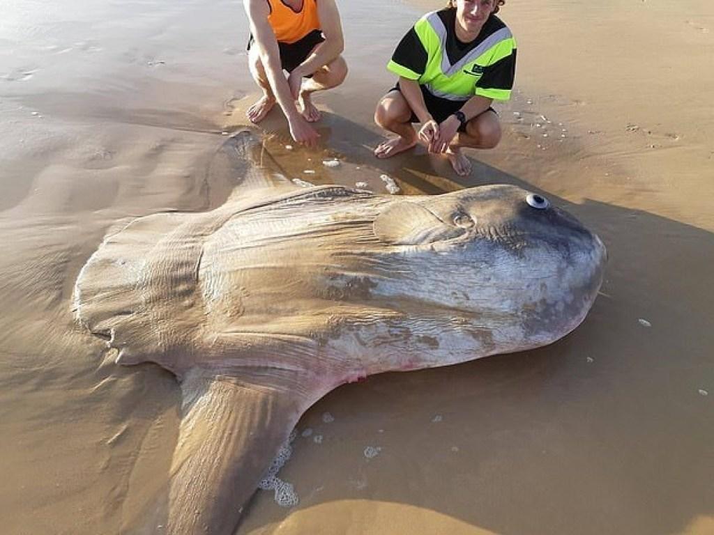 ავსტრალიაში მეთევზეებმა მკვდარი მზისებრიგიგანტური თევზი იპოვეს