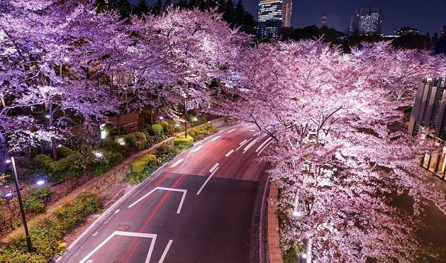 იაპონიაში ალუბლები აყვავდა | ფოტო