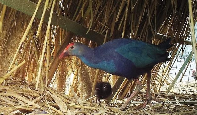 ეროვნულ საშენ მეურნეობაში იშვიათი ფრინველის, ხონთქრის ქათმის წიწილები გამოიჩეკა