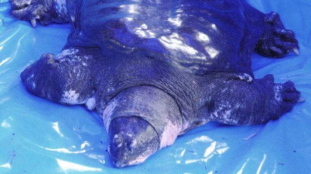 მსოფლიოში ერთ-ერთი ყველაზე იშვიათი სახეობის კუ მოკვდა