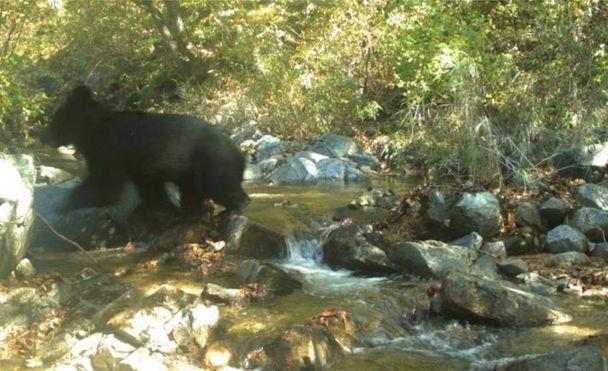 უიშვიათესი აზიური შავი დათვი ფოტოხაფანგმა დააფიქსირა