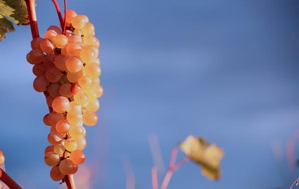 ევროპაში ქართულ ხარისხიან ღვინოზე მოთხოვნა გაიზარდა - Deutsche Welle
