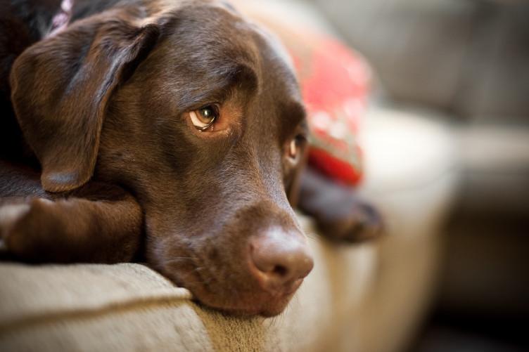 ძაღლები თავის შეცოდების იმიტაციას ახალი თვალქვეშა კუნთით ახერხებენ - ახალი კვლევა