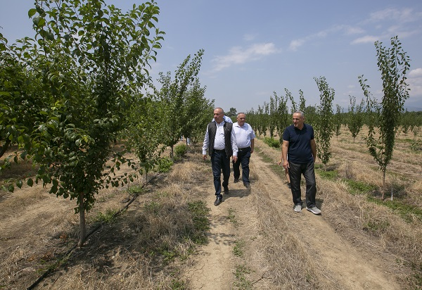 კახეთის რეგიონში ატმისა და ვაშლატამას მოსავლის აღება შეუფერხებლად მიმდინარეობს