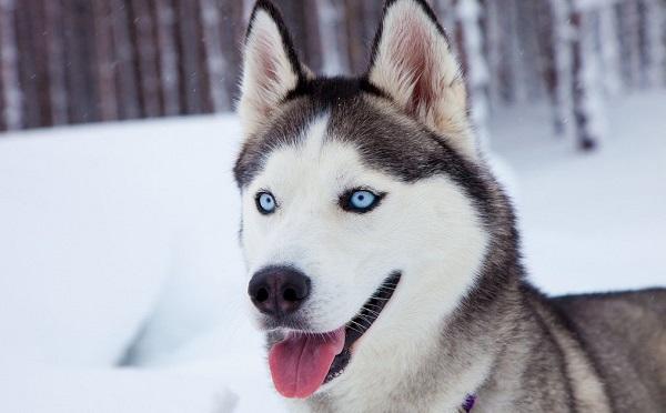 ჭოპორტში მავთულით ჩამოკიდეს ჰასკი და ხელკეტით ყბის ძვლები ჩაუმსხვრიეს - ელიზბარაშვილის ძაღლების თავშესაფარი