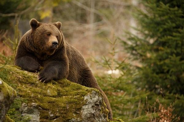 ქობულეთში, თხილის ბაღებში, დათვი გამოჩნდა