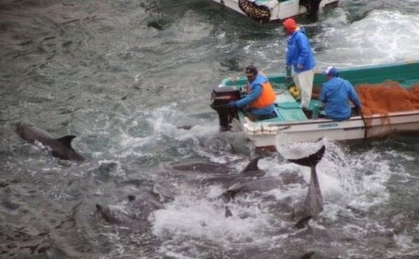 იაპონიაში დელფინებზე ნადირობის ყოველწლიური სეზონი გახსნეს