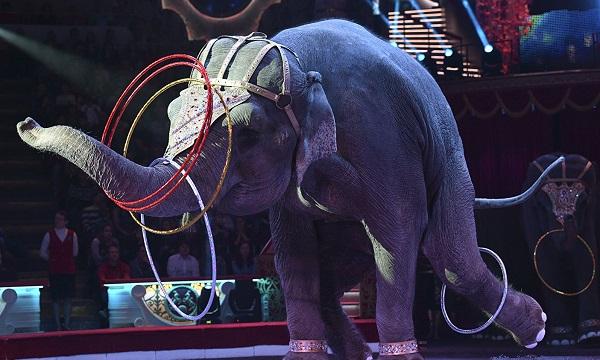 დანიის მთავრობა ცირკისგან სპილოებს გამოისყიდის და ეროვნულ პარკს გადასცემს