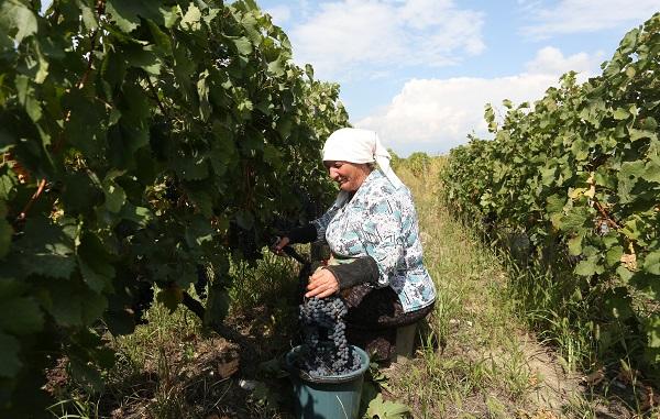 კახეთში ღვინის საწარმოებს ყურძენი 4 ათასამდე მევენახემ ჩააბარა