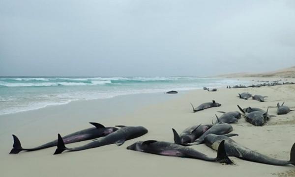 კაბო-ვერდეს სანაპიროზე 200-მდე დელფინი გამოირიყა