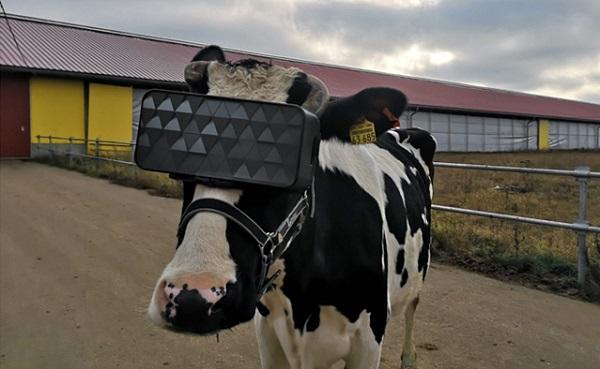 ემოციური განწყობის გაუმჯობესებისა და წველადობის ზრდის მოტივით, რუსეთში ძროხებს ვირტუალური რეალობის სათვალეები მოარგეს