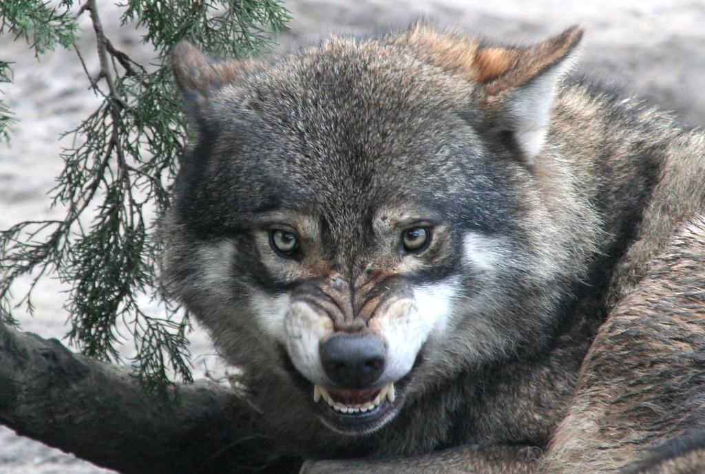 სოფელ კლდეეთს მგლები შეესია