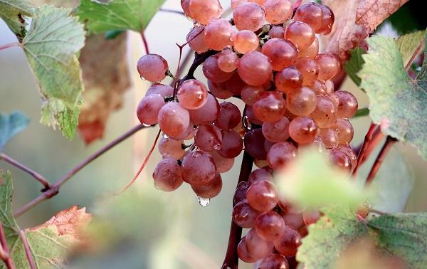 საქპატენტმა ქართული ღვინის ადგილწარმოშობის დასახელებები რუსეთის ფედერაციაში დაიცვა