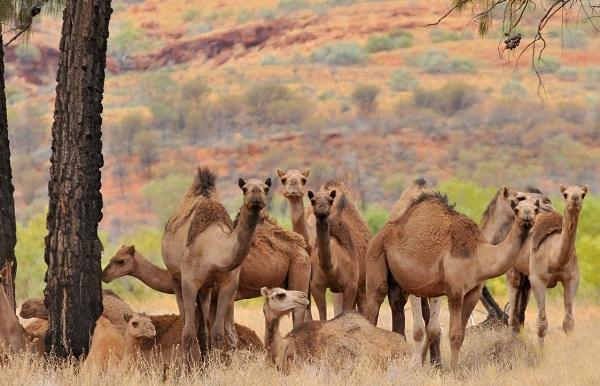ავსტრალიაში აქლემების დახოცვის 5-დღიანი ოპერაცია დაიწყო
