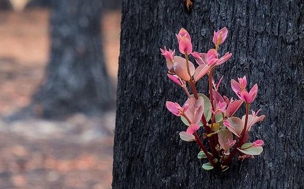 """ავსტრალიაში მცენარეებმა """"ფერფლისგან აღდგენა"""" დაიწყეს"""