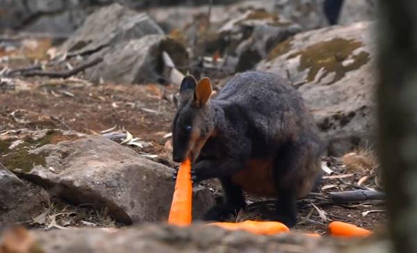 ავსტრალიაში ხანძრით დაზარალებული ცხოველები საკვებით მოამარაგეს