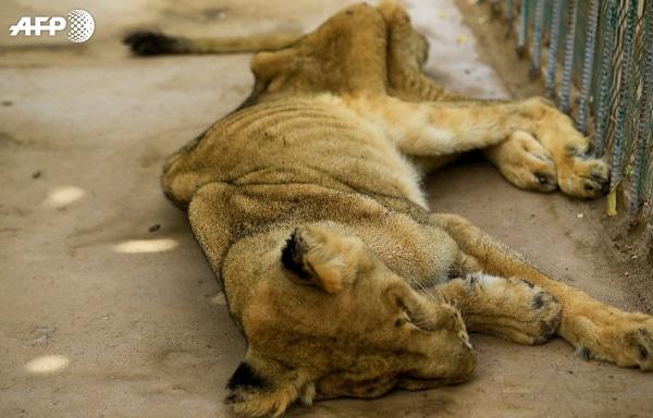 სუდანის ზოოპარკში ლომები შიმშილისგან სიკვდილის პირას მივიდნენ | ფოტოები