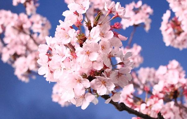 იაპონიის საელჩომ თბილისს 100 ძირი საკურას ნერგი აჩუქა