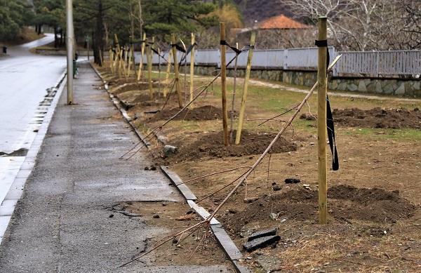 მცხეთაში დაუდგენელმა პირებმა 9 ძირი კანადური ნეკერჩხლის ხე გადატეხეს | ფოტოები