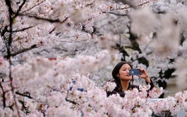 იაპონიაში საკურას ყვავილობა ვიზიტორების გარეშე ჩაივლის