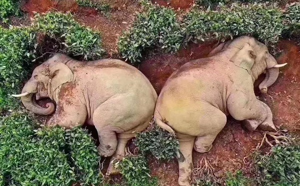 სპილოები სოფელში შეიპარნენ, მაჭარი დალიეს და მთვრალებს  ჩაის პლანტაციაში ჩაეძინათ