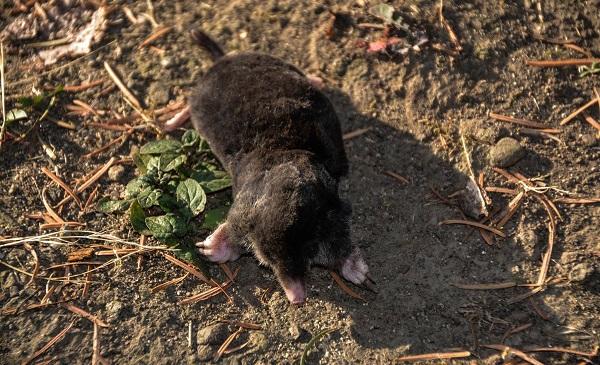 დღის ფოტო: კავკასიური თხუნელა ბორჯომ-ხარაგაულის ეროვნული პარკიდან