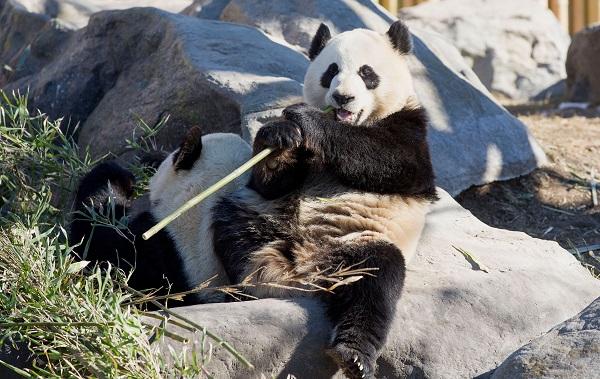 ბამბუკის სიმცირის გამო კანადის ზოოპარკი ორ პანდას ჩინეთში დააბრუნებს