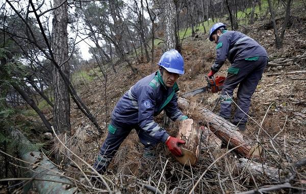ხუდადოვის ტყის მიმდებარედ დაავადებული და ხმობადი ფიჭვები მოიჭრება