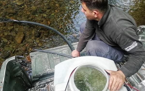 პოპულაციის აღდგენის მიზნით მდინარე რიცეულაში 30 000 ნაკადულის კალმახის ლიფსიტი გაუშვეს