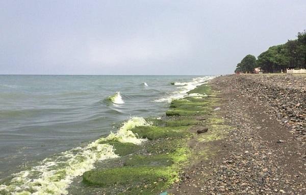 შავი ზღვის სანაპიროს ფოთი-ურეკის მონაკვეთზე წყალმცენარეების რაოდენობის მატებასთან დაკავშირებით კვლევა მიმდინარეობს