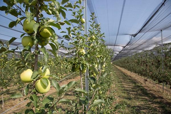 საქართველოდან 776 ტონა ვაშლია ექსპორტირებული