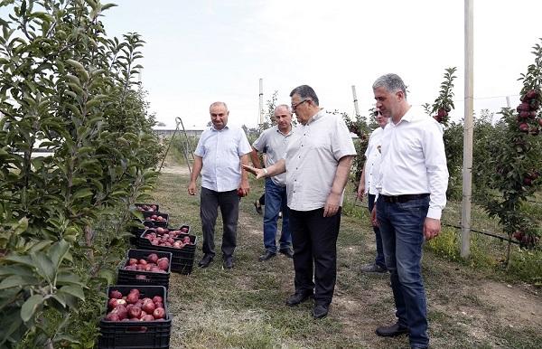 სახელმწიფოს მხარდაჭერით გაშენებულ ბაღებში მოსავალის აღება აქტიურად მიმდინარეობს