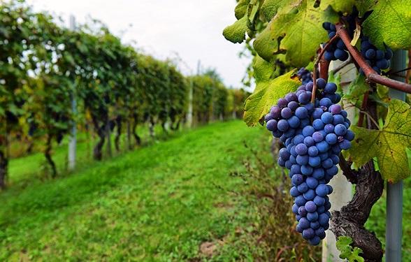კახეთში რთველი შეფერხების გარეშე მიმდინარეობს: გადამუშავებულია 80 ათასი ტონა ყურძენი