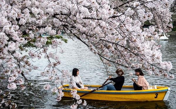 საკურას ყვავილობა იაპონიაში | ფოტოები