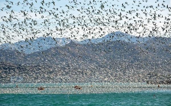 8 მაისი გადამფრენი ფრინველების მსოფლიო დღეა