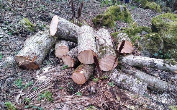 სამეგრელოში ხე-ტყის უკანონო ტრანსპორტირების ფაქტი გამოავლინეს