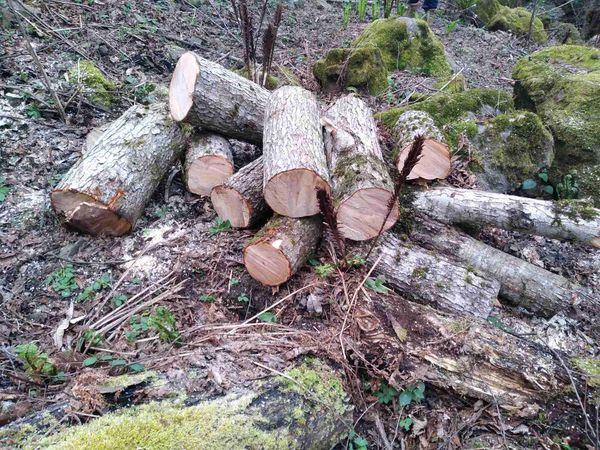 იმერეთში ხე-ტყის უკანონო ჭრის 4 ფაქტი გამოავლინეს