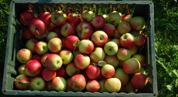 არასტანდარტული ვაშლის რეალიზაციის ხელშეწყობის მიზნით, სახელმწიფო სუბსიდირების პროგრამას განახორციელებს