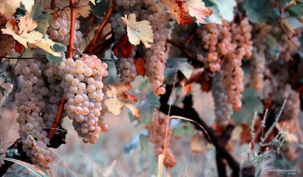 ღვინის ეროვნული სააგენტო: წელს, კახეთში  რთველი წარმატებით ჩატარდება