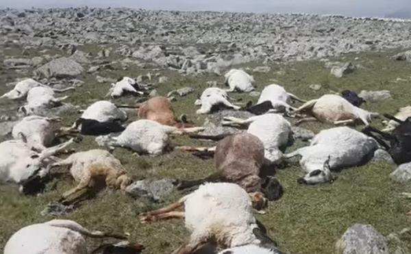 ნინოწმინდის მუნიციპალიტეტში მეხის დაცემის შედეგად 530 ცხვარი მოკვდა