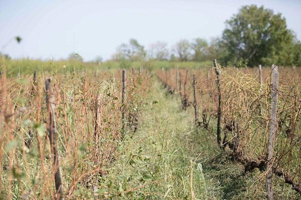 2 300 ტონამდე დასეტყვილი ყურძენი უკვე გადამუშავებულია - რთველის საკოორდინაციო შტაბი