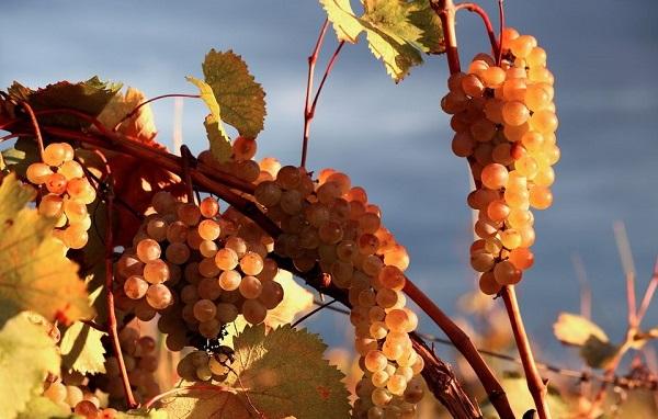 სტიქიის შედეგად დაზიანებული ყურძენი ღვინის საწარმოებს 1300-მდე მევენახემ ჩააბარა - მათი შემოსავალი 8 მლნ ლარს აღწევს