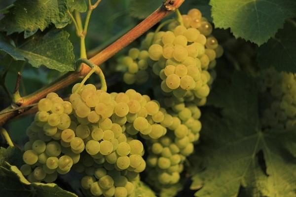 დღეისთვის კახეთში გადამუშავდა 37 ათას ტონამდე ყურძენი, რაც თითქმის 9-ჯერ აღმატება გასული წლის ანალოგიურ მაჩვენებელს