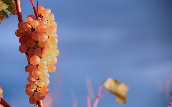 ქართული ღვინის ხარისხის გაუმჯობესების მიზნით, ყურძნის ხარისხის კონტროლი გამკაცრდება